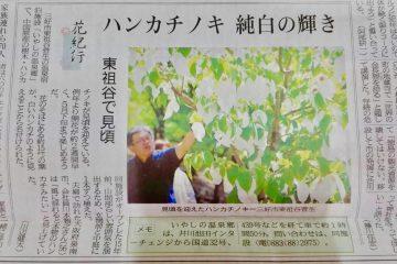 奥祖谷の「ハンカチの木」