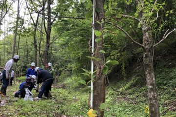 かずら橋の材料となるシラクチカズラの植栽